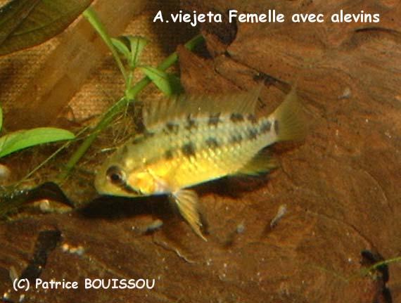 fiche Apistogramma viejita A.Viejeta_Femelle+frai_2